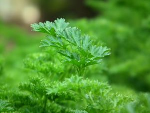 parsley-246557_960_720